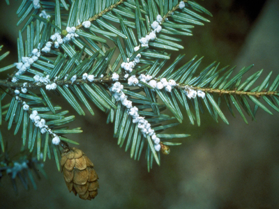 hemlock-woolly-adelgid-invasive-wool-forming-cropped-photocredit-connecticut-agricultural-experiment-archive-400x300